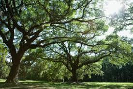 how to sell residential oak tree lumber hunker