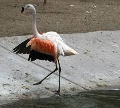 pink flamingos free stock photo public domain pictures