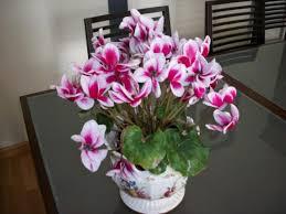 Beautiful Indoor Plants Cyclamen Persicum Indoor Plant In The Dining Room Beautiful