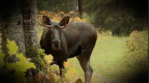 get rid of moose in anchorage varmint gone anchorage alaska