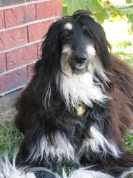 afghan hound weight afghan hound breed information and photos thriftyfun
