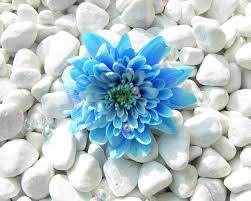 white and blue flowers blue flower in white rocks and pearls free high quality flower