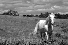 white mustang horse white horse bw2 a different light
