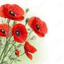 poppies flowers poppies flowers border stock photo picture and royalty free image