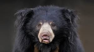 sloth bear san diego zoo animals u0026 plants