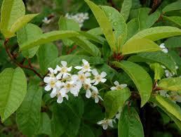 native irish plants prunus padus online atlas of the british and irish flora