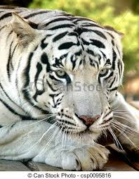 up of of a white tiger with ears back stock image