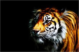 cool tiger wallpapers wallpapersafari