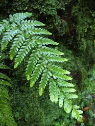 Free Picture Leaf Nature Fern Free Images Tree Nature Branch Flower Botany Fir Leaves