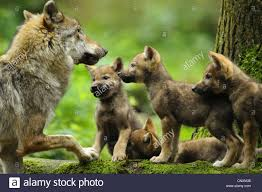 european gray wolf canis lupus lupus she wolf and wolf cubs