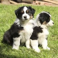 australian shepherd traits tri color australian shepherd would be a nice addition to our blue