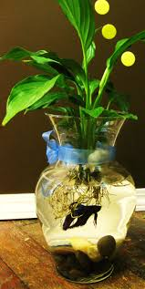 Betta Fish Vase With Bamboo Fighting Fish Bowls With Peace Lily Or Lucky Bamboo Lumsden