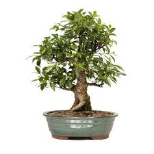 best 25 buy bonsai tree ideas on japanese maple tree