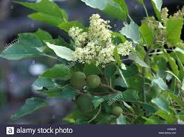 kukui nut flowering kukui nut tree on big island stock photo royalty free