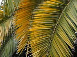 palms for palm sunday celebrating palm sunday uua org