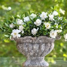 Gardenia Delivery Amazon Com Jubilation Gardenia Southern Living Live Plant