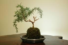 rosemary bonsai trees