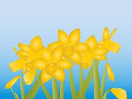 grow daffodils indoors daffodils daffodil bulbs and bulbs