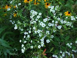 native tennessee plants clay and limestone wildflower wednesday flowering spurge