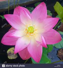 thai lotus flower stock photo royalty free image 310037218 alamy