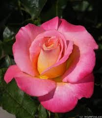 632 best hybrid tea roses images on pinterest beautiful roses