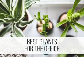 Plants For Office 12 Best Plants For The Office Punched Clocks
