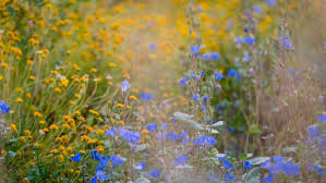 sacramento native plants restoration landscaping