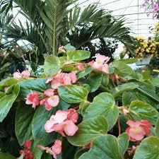 dragon wing begonia annual graff gardens worth il