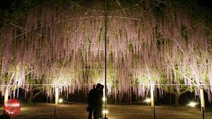 cycle around town and explore ashikaga flower park u0027s ethereal