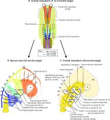 Floor Of The Cranium An Eye On The Head The Development And Evolution Of Craniofacial