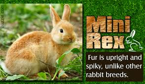 facts about mini rex rabbits that will melt your heart