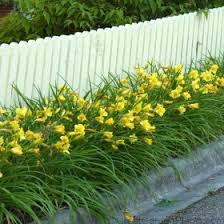 day lillies daylily happy returns reblooming yellow hemerocallis drought proof