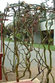 11 best curly willow images on pinterest curly willow garden