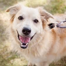 belgian shepherd golden retriever mix austin pets alive available dogs austin pets alive