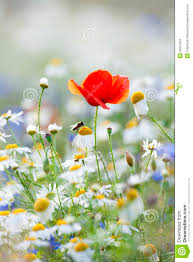 wild flowers in wild meadows wild flowers stock photo image of outdoor flower poppies 23054024