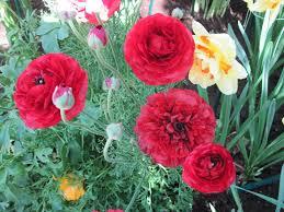 Ranunculus Flower Life Rejuvenate Flowers Red Photography Garden Green Ranunculus