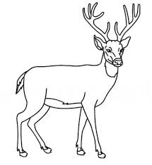 realistic whitetail deer coloring pages deer color page with