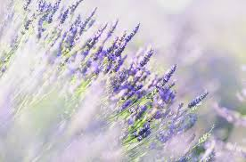 purple color meaning lavender color meanings