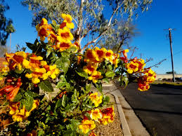 native plants of arizona tecoma sparky jpg