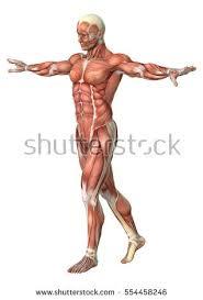 Female Anatomy Figure Muscle Anatomy Stock Images Royalty Free Images U0026 Vectors