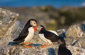 donate to project puffin audubon project puffin
