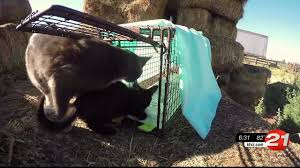 Craigslist Madras Or by Special Report Bend Group Tackles C O Feral Cats Problem Ktvz