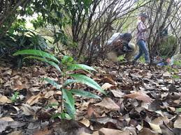 maui native plants maui now native forest thrives after 20 years of collaboration