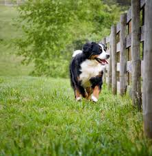 the right fence for your dog animal wellness magazine
