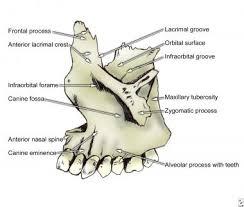 Floor Of The Cranium Bone Anatomy Overview Mandible Maxilla