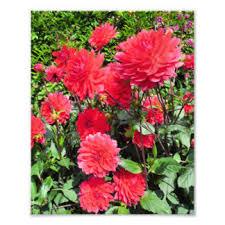 red dahlia flowers art u0026 framed artwork zazzle