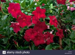 red flowering mandevilla dipladenia in a west london garden