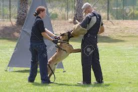 belgian malinois en espanol dog training belgian malinois in the attack stock photo