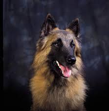 belgian shepherd uk belgian shepherd dog tervueren or chien de berger belge belgian
