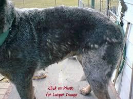 australian shepherd lab mix shedding cattledog com internet home of all things australian cattle dog